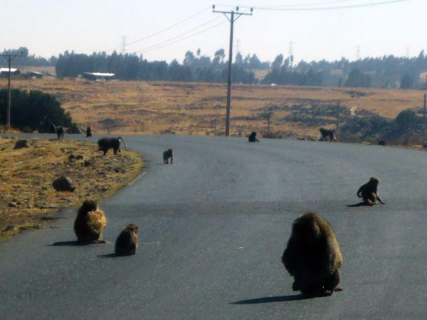 im Naturschutzgebiet sitzen die Affen auf der Straße und warten dass die LKW-Fahrer ihnen zur Unterhaltung etwas Futter raus werfen