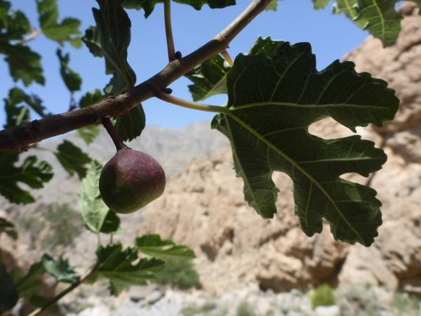Feigen wachsen im Fels-Wadi