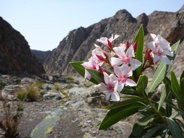 dann wandelt sich das Wadi in einen Blütenzauber