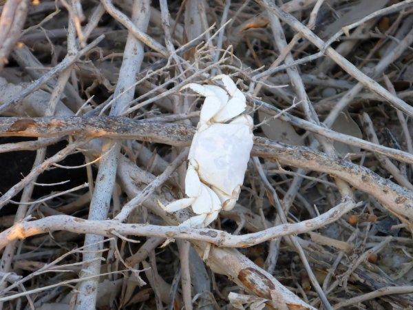 Krabbe in den Mangroven