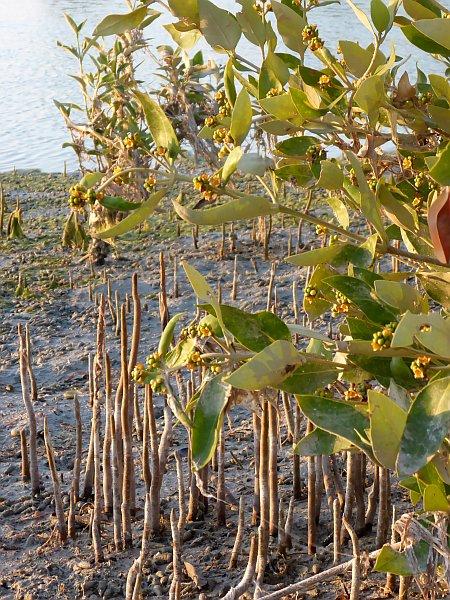 die Wurzeln der Mangroven ragen aus dem Schlamm
